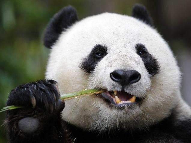 Giant-panda-eat-bamboos